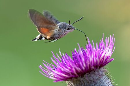 An hummingbird hawk-moth (Macroglossum stellatarum) feeding nectar from woolly thistle flower.