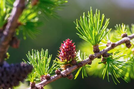 Bright green fluffy branches with cones of larch tree Larix decidua Pendula in summer day. Natural beauty of elegant larch tree twig. Close-up branch of young larch.