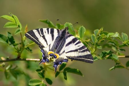 Top view of scarce swallowtail, iphiclides podalirius, sitting on green flower in summer. Butterfly with open striped wings from above. Black and white insect sunlit on a meadow.