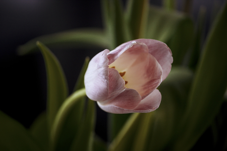 enchanting: Pink tulip bloom in enchanting dark surroundings of green foliage. Blurred background.