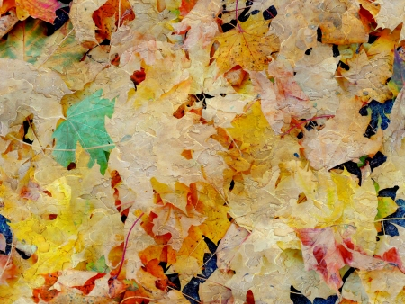 changing colors: texture of Maple leaves in autumn colours Stock Photo