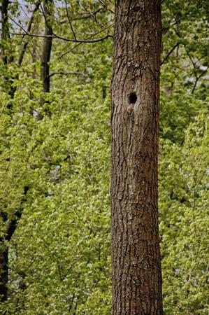tronco: árbol en el bosque con un hueco Foto de archivo