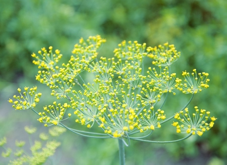 A bunch of green dill in the garden