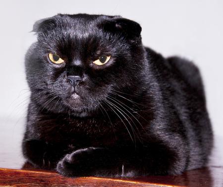black cat with small ears. scottish fold Stock Photo - 101006220