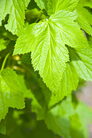 green foliage, strawberry leaves, garden and nature