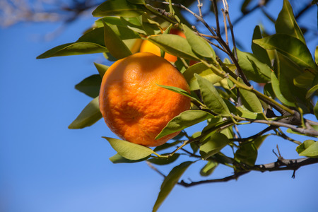 dappled: Tangerine or mandarin on a branch in dappled winter afternoon sunlight with blue sky in background