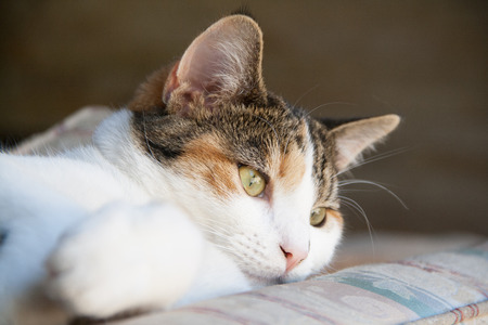calico whiskers: Close up of beautiful calico cat looking around