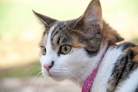 calico whiskers: Close up of beautiful calico cat being curious outdoors