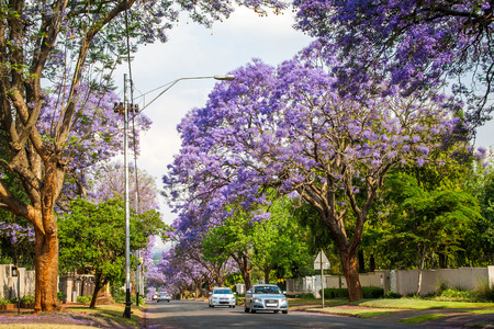 Johannesburg, South Africa - October 22, 2015: Tall Jacaranda trees lining the street of a Johannesburg suburb in the afternoon sunlight