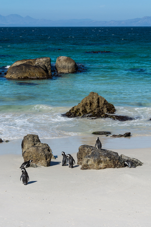 jackass: Boulders penquin colony at Simonstown, South Africa Stock Photo
