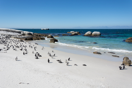 penguins on beach: Boulders penquin colony at Simonstown, South Africa Stock Photo