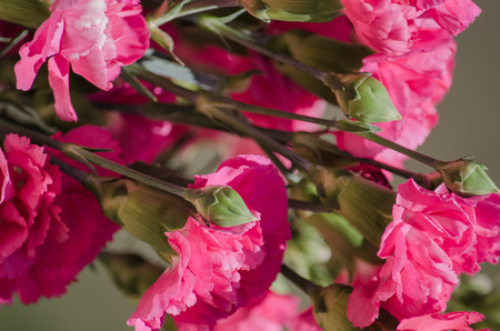 carnations: Pink Carnations