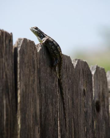 spiny: Texas Spiny Lizard Stock Photo