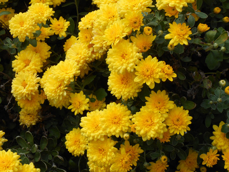 mums: Yellow Mums