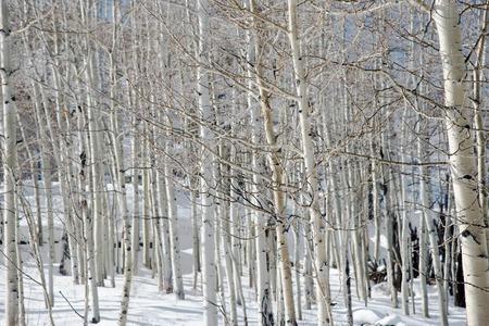 Aspen Trees Stockfoto