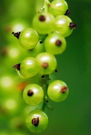 unripened: Unripe red currant