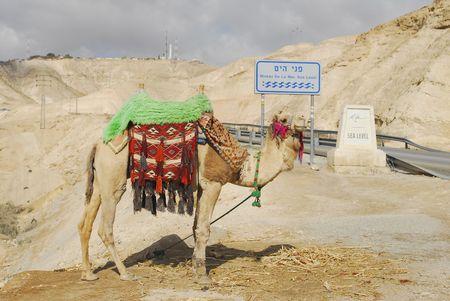 seacoast: A camel at the Dead Sea