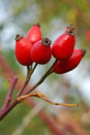 briar bush: Briar-rose fruits on a leaf Stock Photo