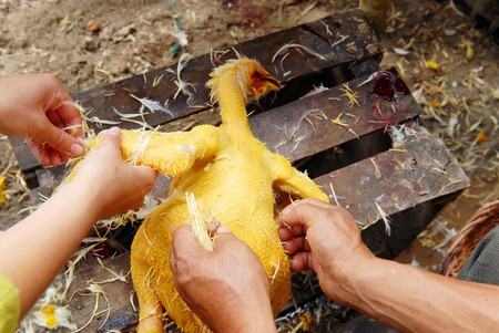 swarthy: The stripping of feathers of hen by womens hands. Stock Photo