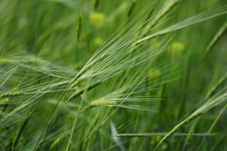 unripened: Green barley.