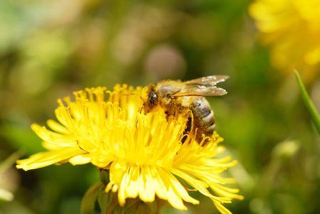 Honeybee on a dandelion. photo