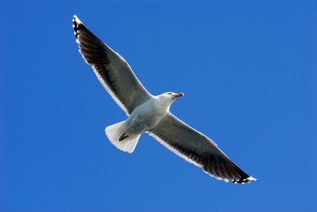larus: A seagull (Larus michahellis).