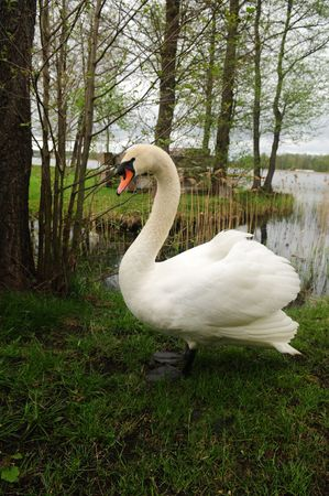 morass: The portrait of the white swan. Stock Photo