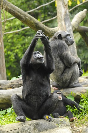 zoological: The female of the chimpanzee with young in zoological garden Stock Photo