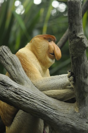 zoological: The sitting probosci monkey in zoological garden