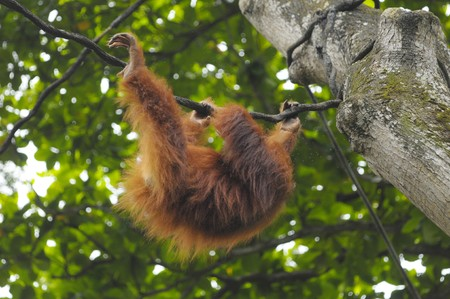 zoological: The orangutang borneo hanged on tree in zoological garden