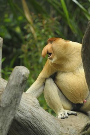 malaise: The sitting probosci monkey in zoological garden