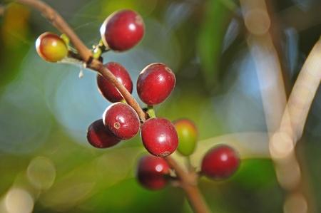 detail of coffee on tree in Gracias, Honduras Stock Photo
