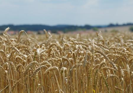 morava: Picture of growing grain Stock Photo