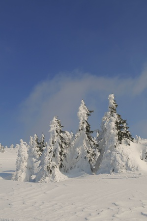 moutains: Picture of a small spruce trees in moutains covered in snow