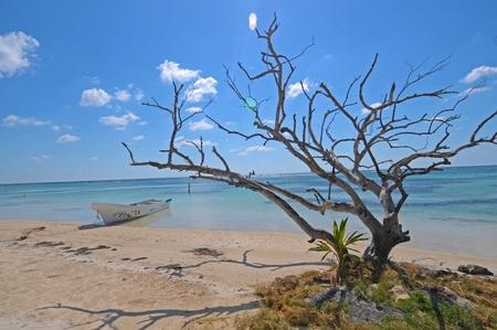 Trockener Baum am Strand von Mahahual in Mexiko