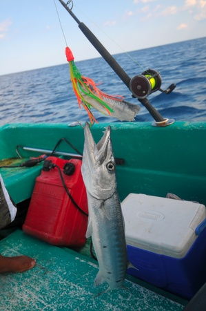 fishhook: Baracuda hanging on fish-hook in fishing boat