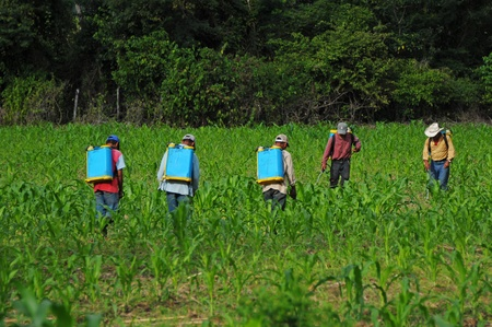 Workers spraying corn plants againts pest