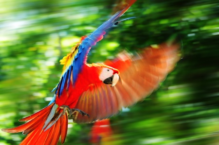 Wild parrot living in Copan, Central America photo