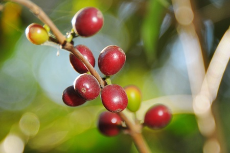Picure of a coffe berries growing on plantation in Honduras photo