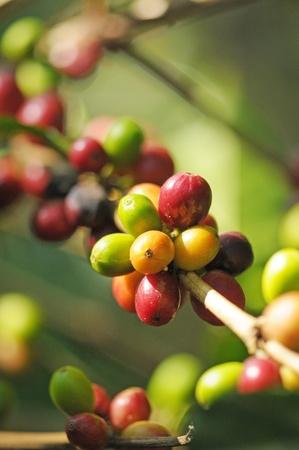 Bild von einer Kaffeebeeren auf Plantage in Honduras