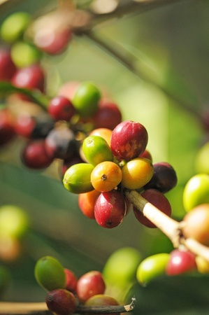 Picture of a coffee berries growing on plantation in Honduras photo