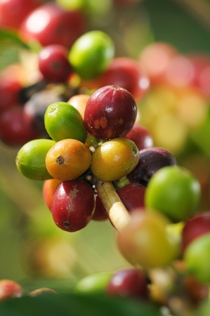 coffee tree: Picture of a coffee berries growing on plantation in Honduras