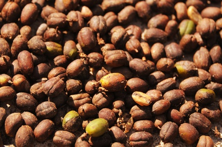 coffee harvest: Picture of coffee harvest from coffee plantation