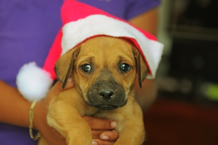 santa clause hat: Picture of a cute little puppy with santa clause hat on Stock Photo
