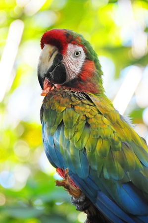 Picture of a beautiful colorful scarlet macaw in Chetumal zoo photo