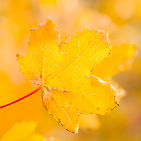 field maple: Field maple leaf in autumn park Stock Photo