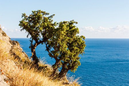 rocky mountain juniper: Juniper tree on rock sea surface background Crimea. Ukraine. Russia Stock Photo