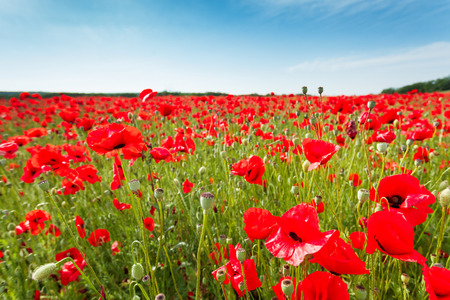 Red poppy flowers on fields Crimea. Russia. Ukraine photo