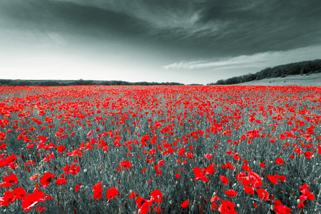 Black and white image of a meadow with red field poppies. Crimea. Russia. Ukraine
