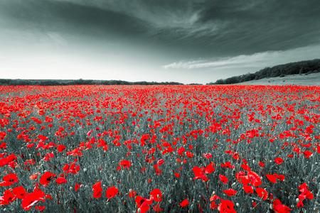 Zwart-wit beeld van een weide met rode veld klaprozen. Krim. Rusland. Oekraïne
